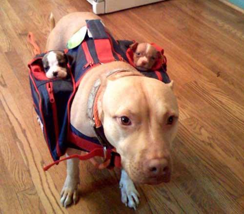 Pitbull et ses petits